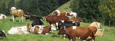 Aemmital_cows