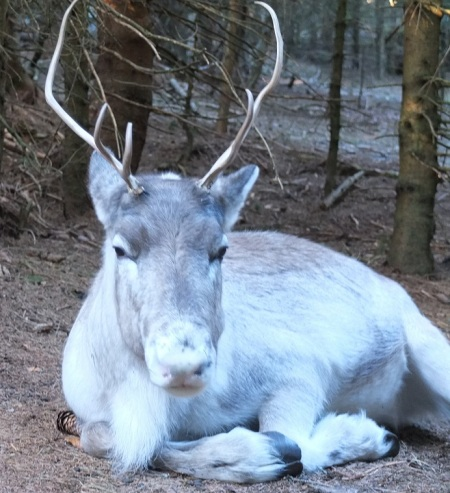 reindeer04