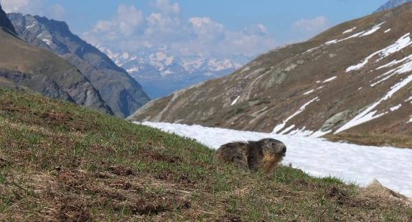 Gran Paradiso Marmot